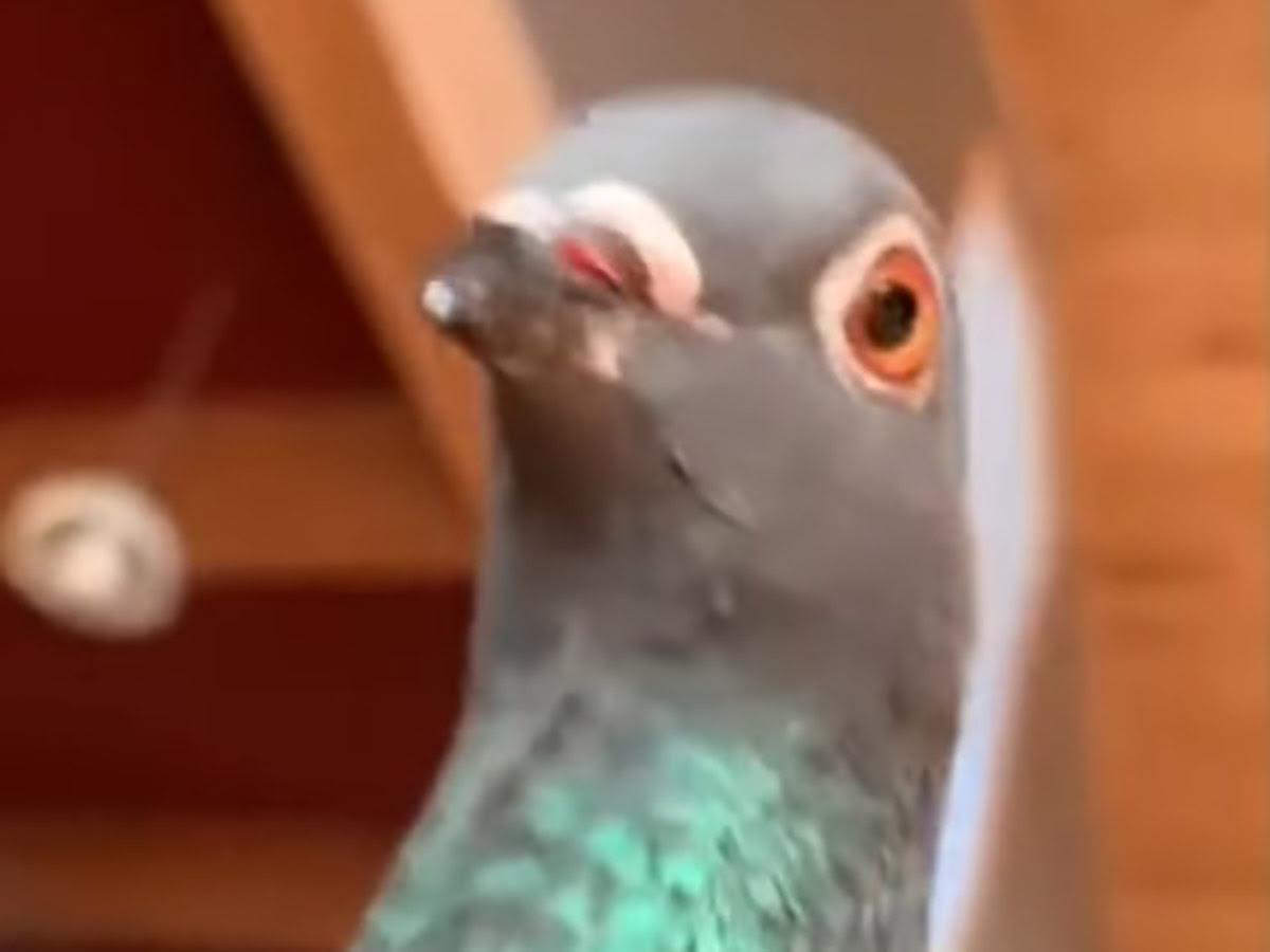 Así reacciona una paloma al ver a su dueña fingiendo un desmayo