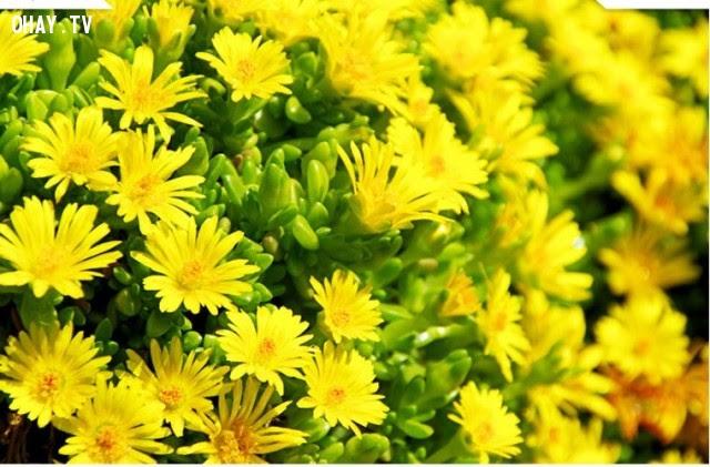 Hoa Cúc vàng (Yellow-Chrysanthemum) : Lòng kính yêu quý mến, nỗi hân hoan,ngôn ngữ các loài hoa,hoa đẹp,hoa ngữ